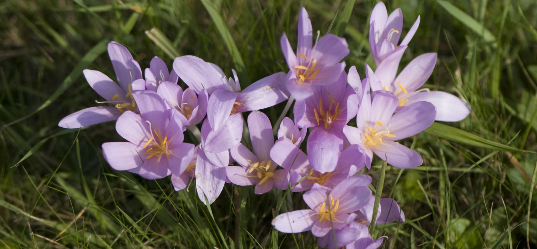 Herfsttijloos bloeit op landgoed Koningshof