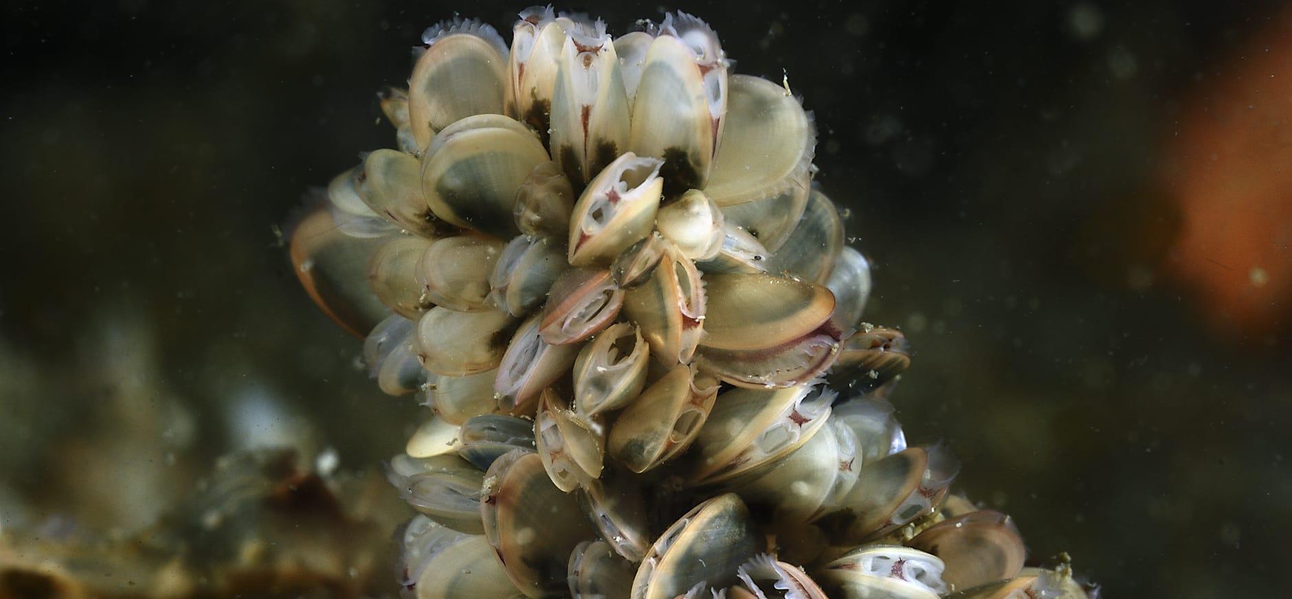 Succesvolle groei mosselbanken in beschermde gebieden Waddenzee