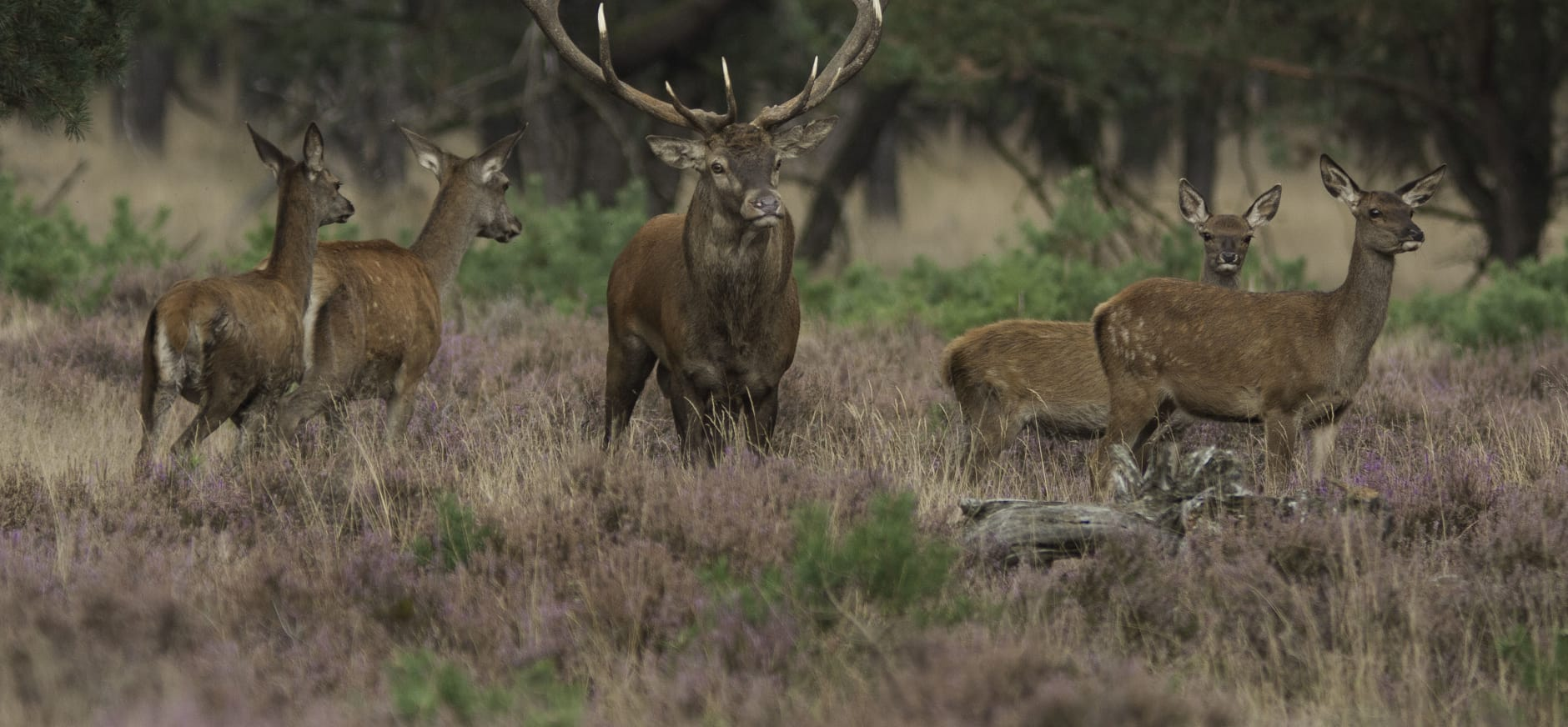 Onderzoek: Groot wild meerwaarde voor Drents-Friese Wold