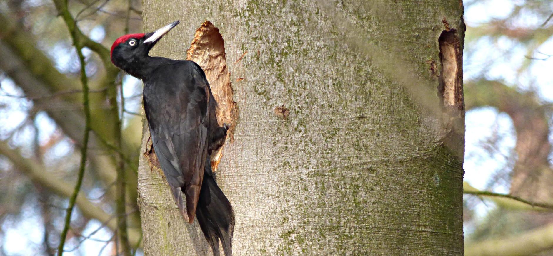 Opgelet: 'bever' van de Leuvenumse bossen aan het werk