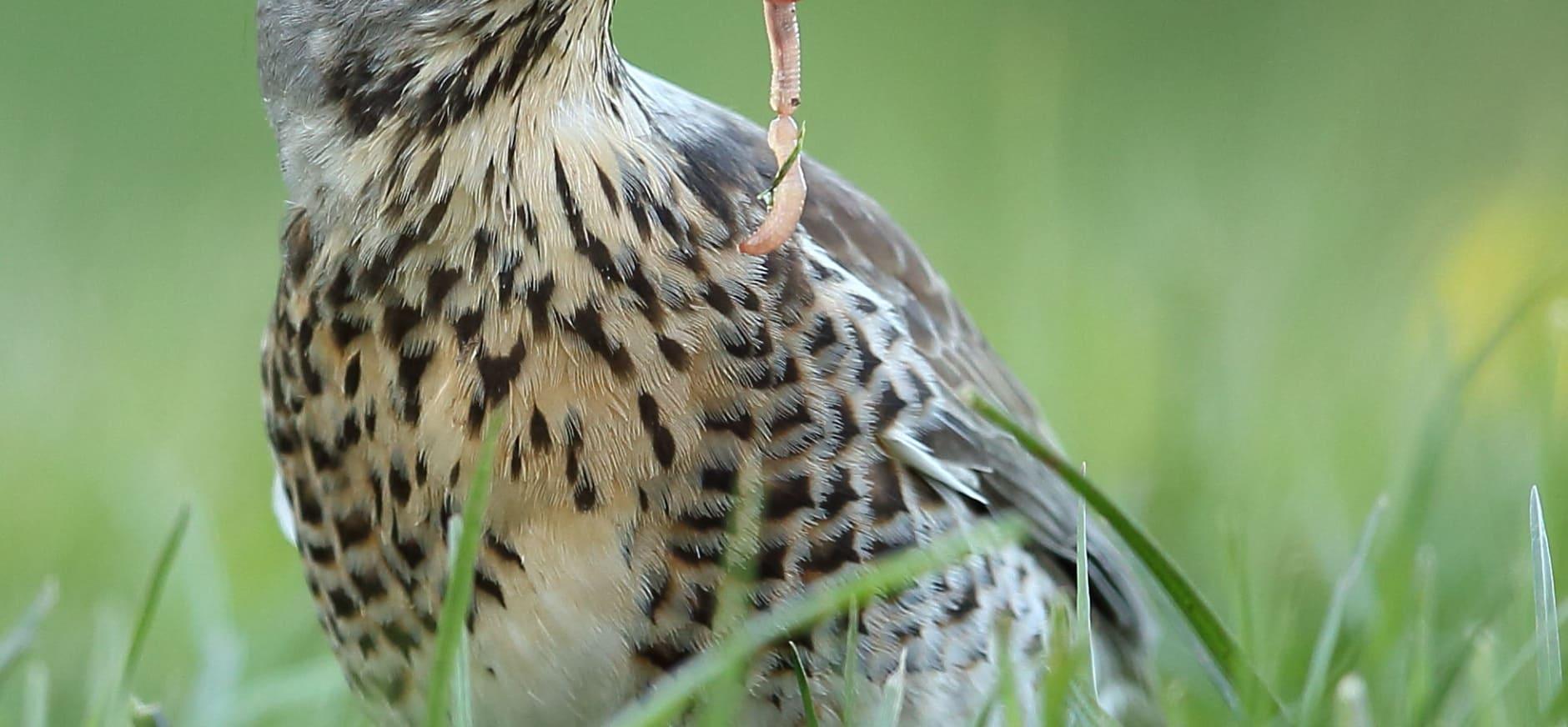 Kramsvogel, een mysterieuze broedvogel