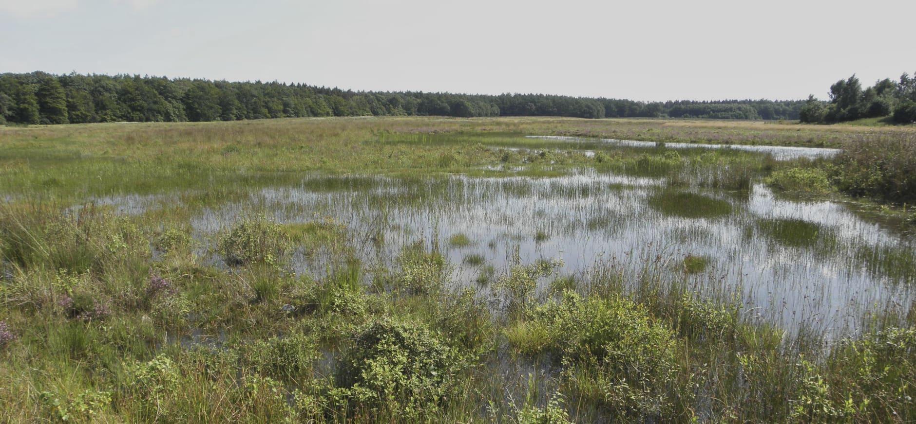 Sayaguesa-runderen krijgen meer ruimte in Drents-Friese Wold