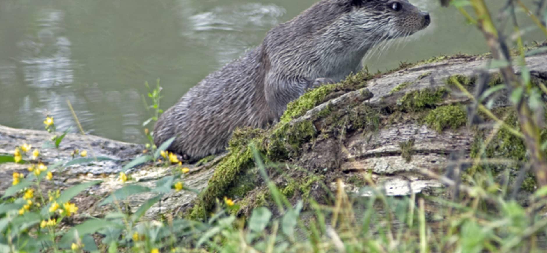 Nieuwe natuur voor otter in Voorsterbos