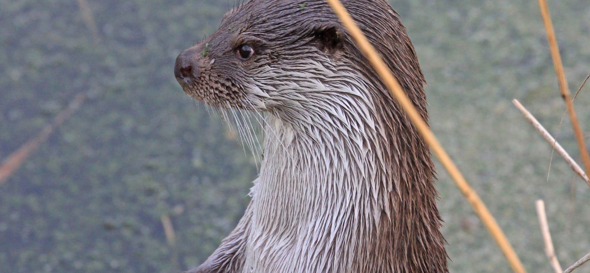 Uniek wandelevenement: Otterloop langs de Nieuwkoopse Plassen