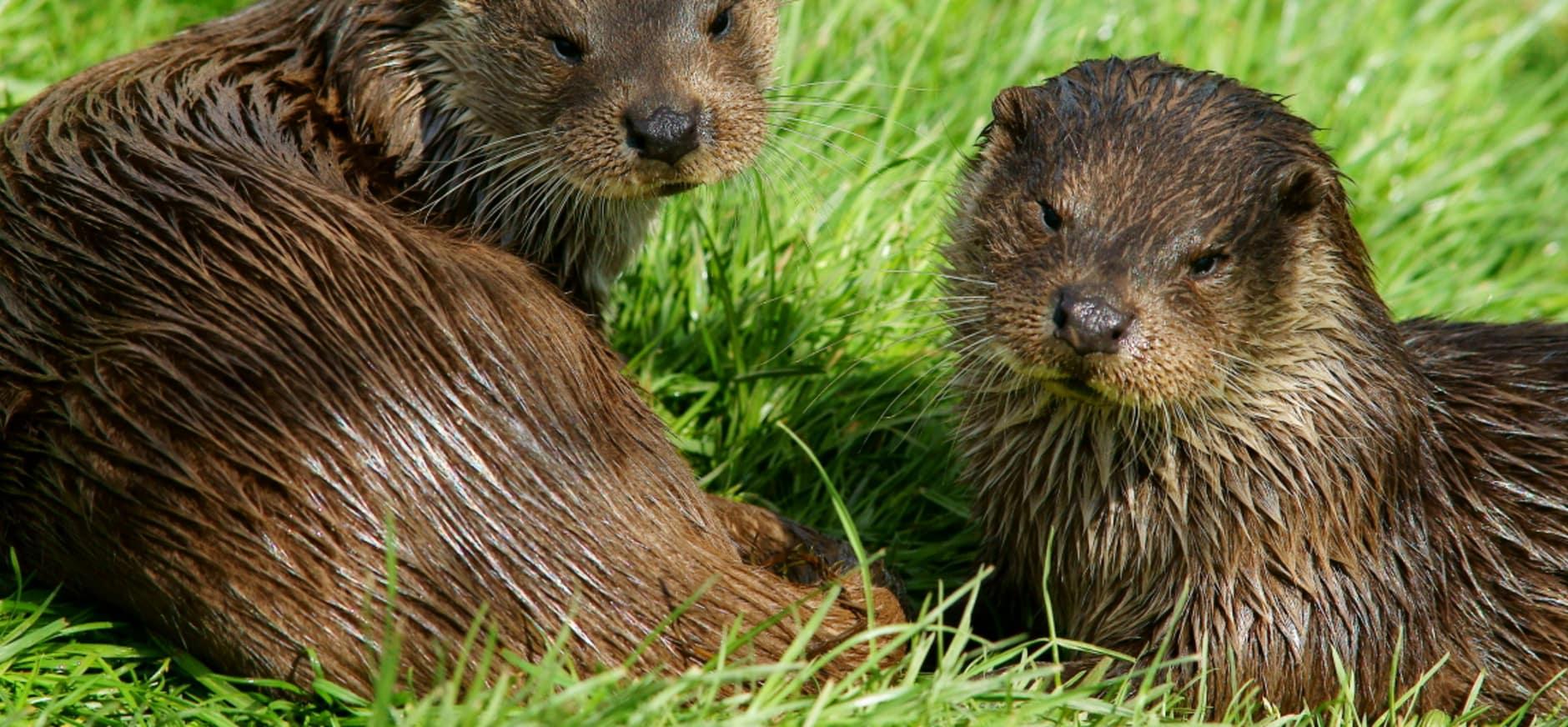 Otterfamilie gefilmd in De Wieden
