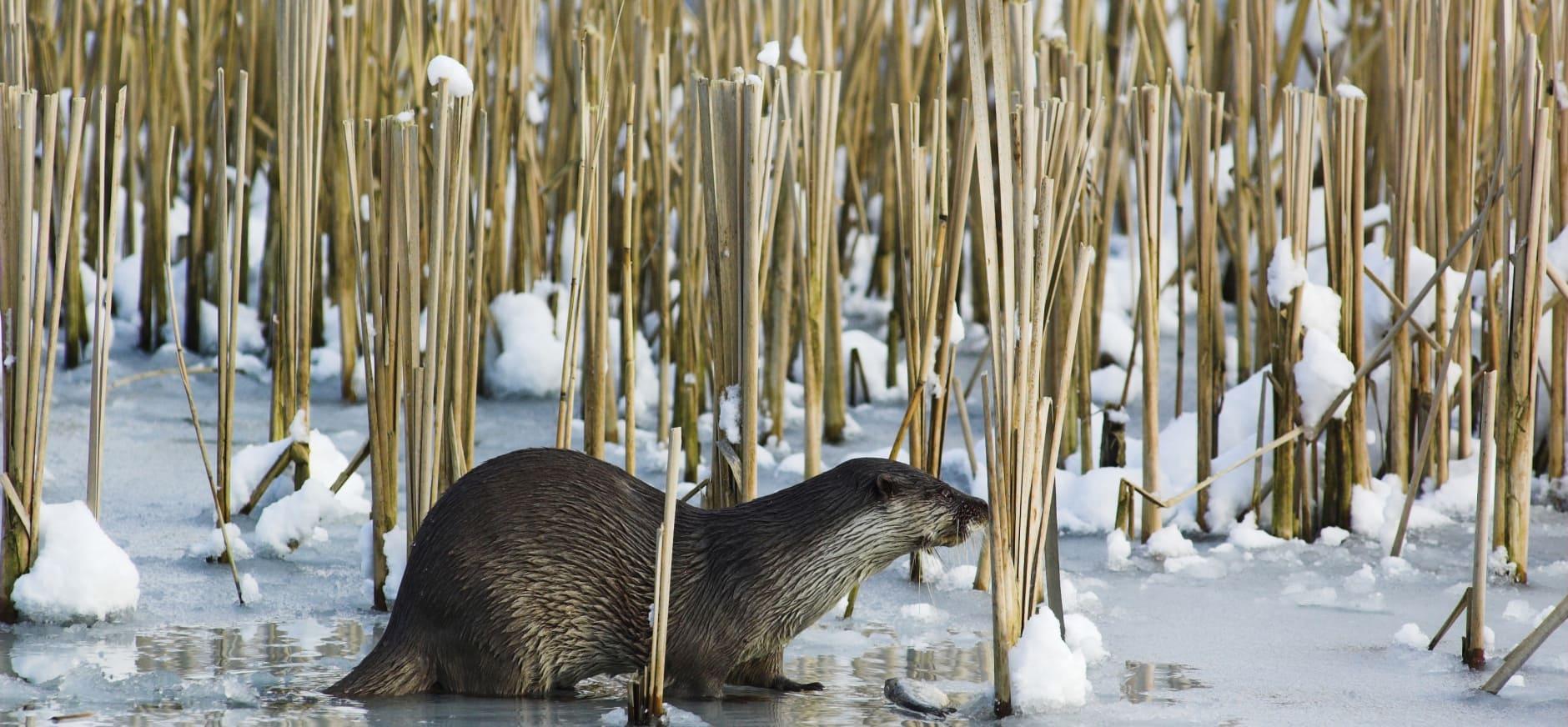 Eerste Twentse otter doodgereden bij Ottershagen