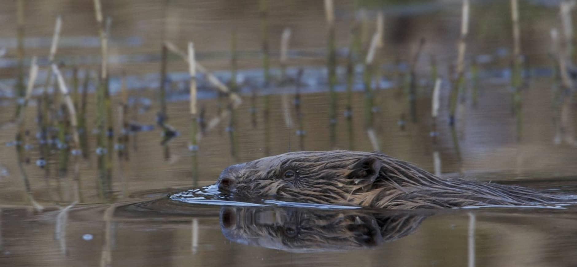 Olympiërs zwemmen van Biesbosch naar Haringvliet