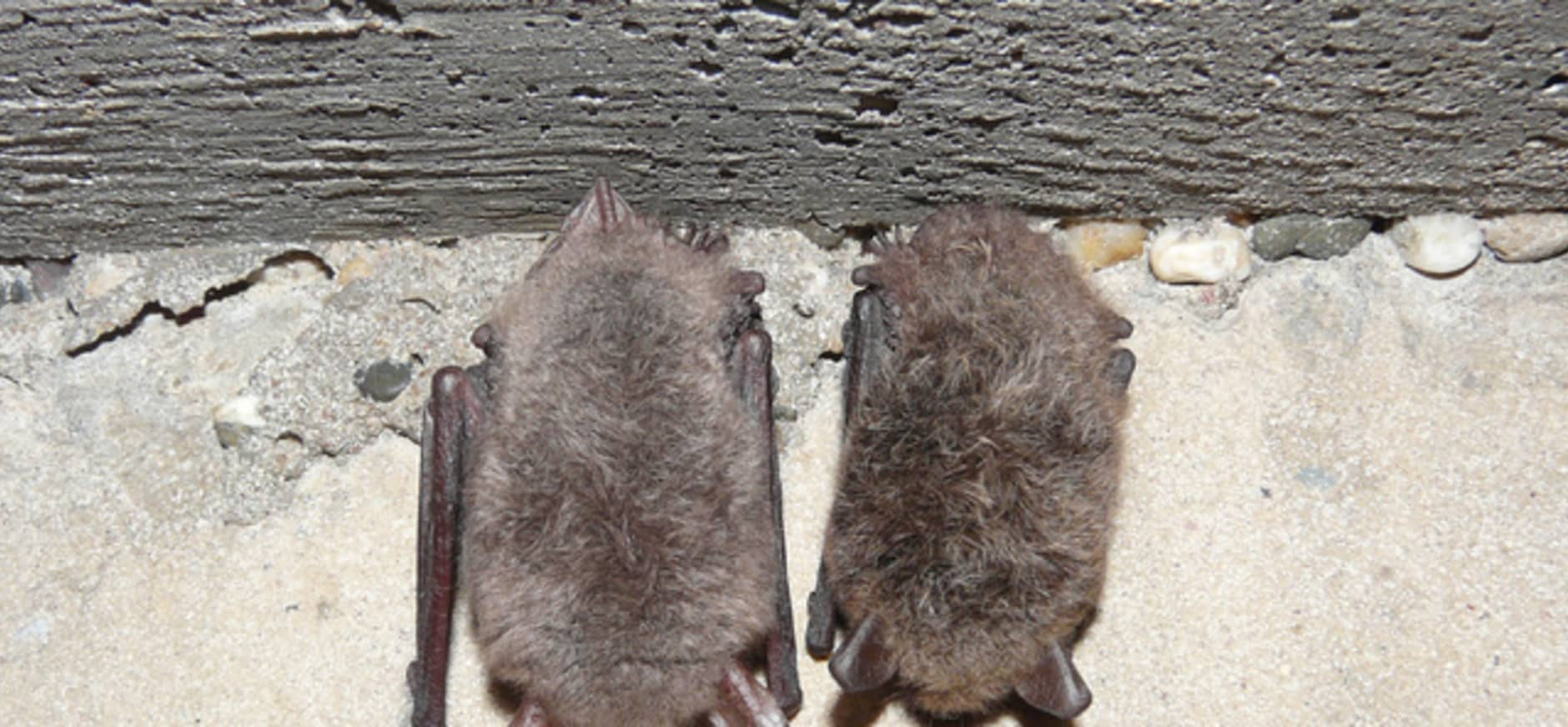 Meer overwinterende vleermuizen Deelerwoud