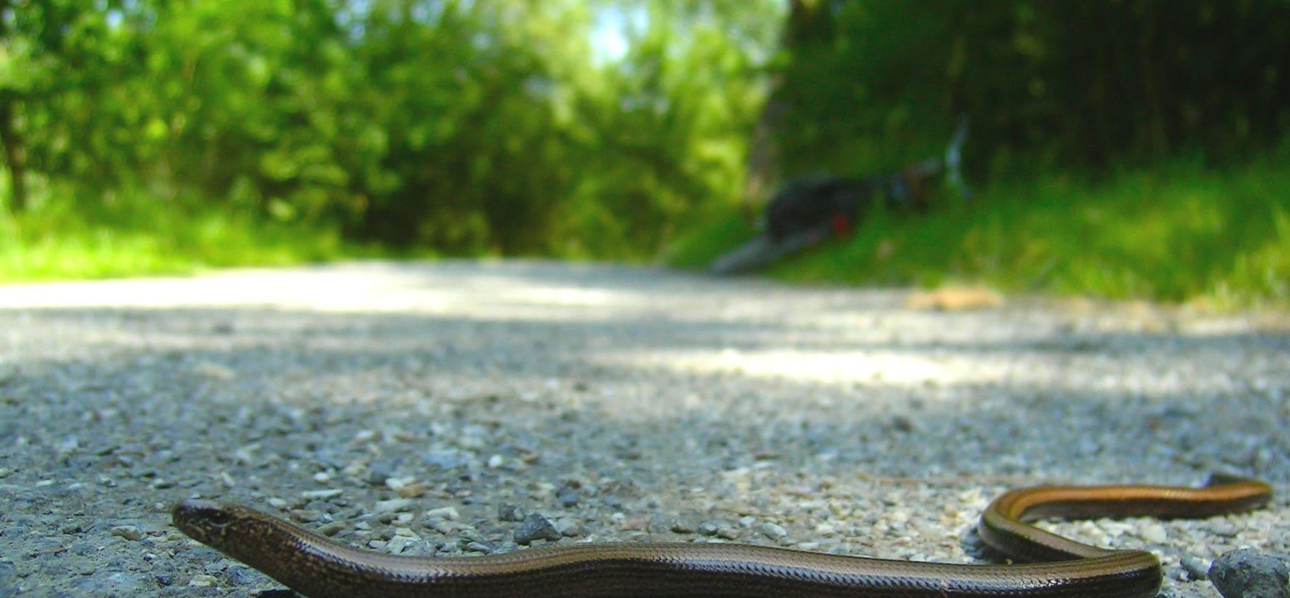 Hazelwormen gezocht op de Sprengenberg