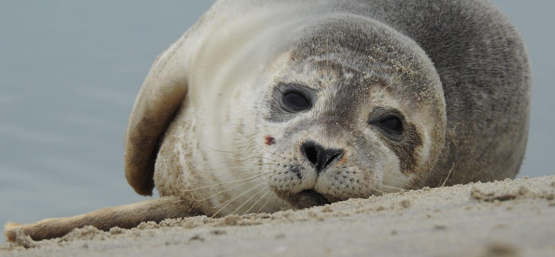 Jonge zeehond op het strand in Katwijk