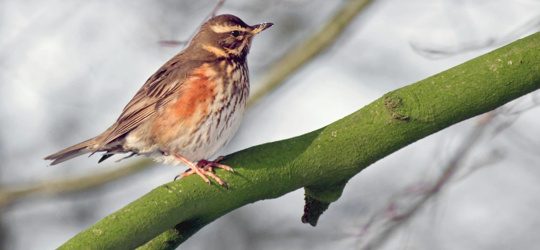 Volop lijsters in de Flevolandse bossen