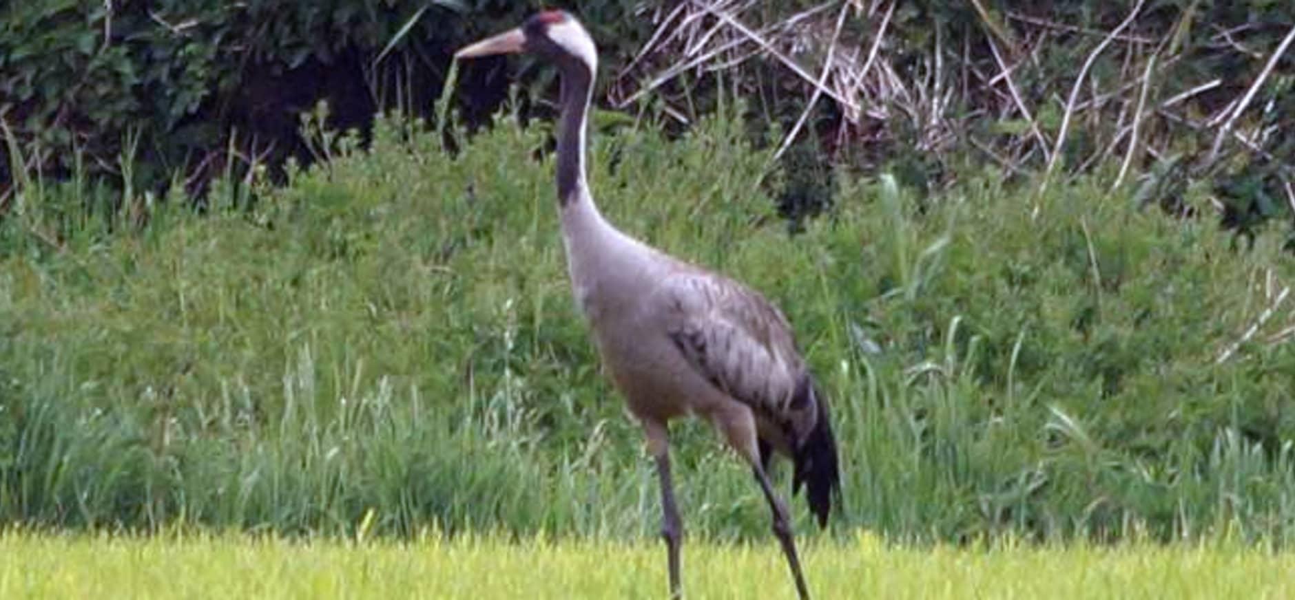 Uniek: broedende kraanvogels in het Korenburgerveen