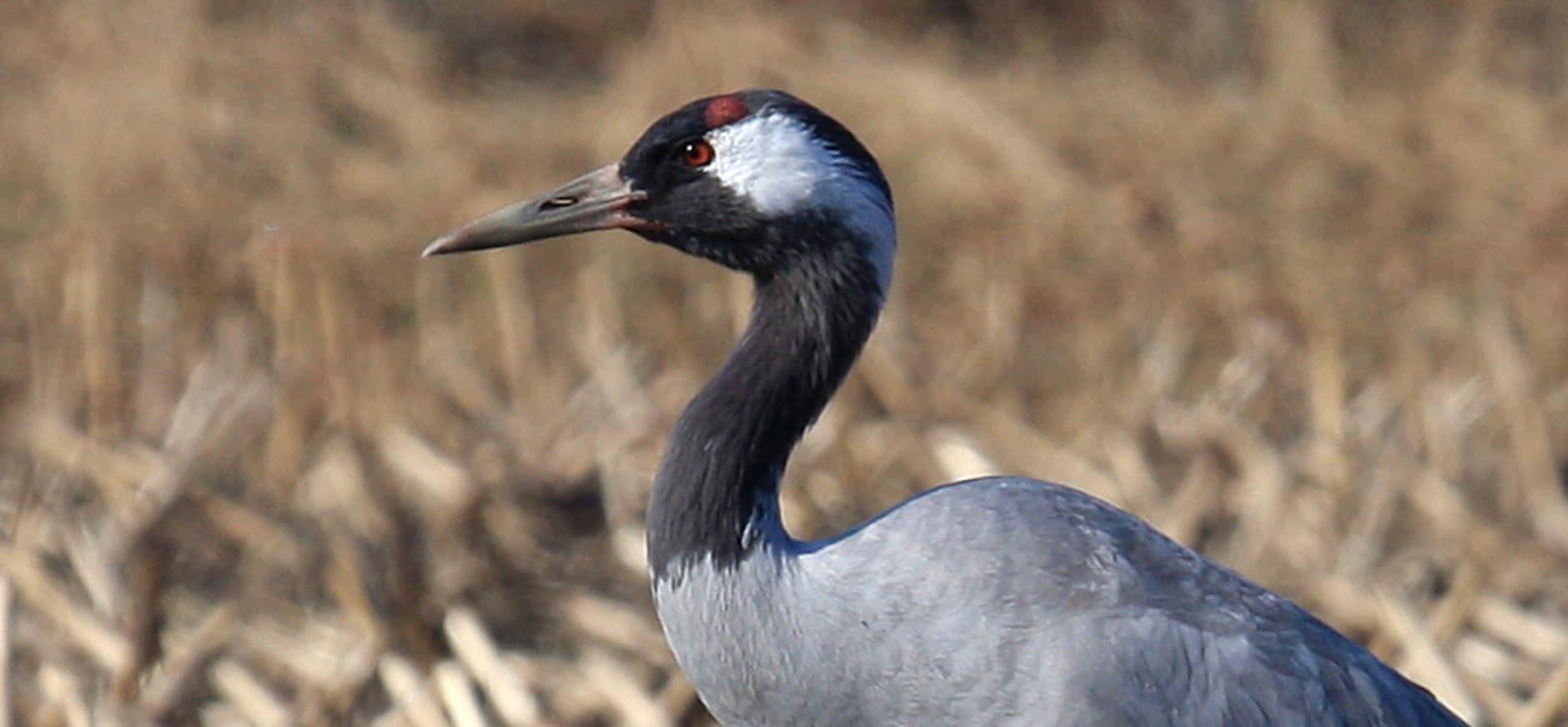 Kraanvogels breiden broedgebied Drenthe uit