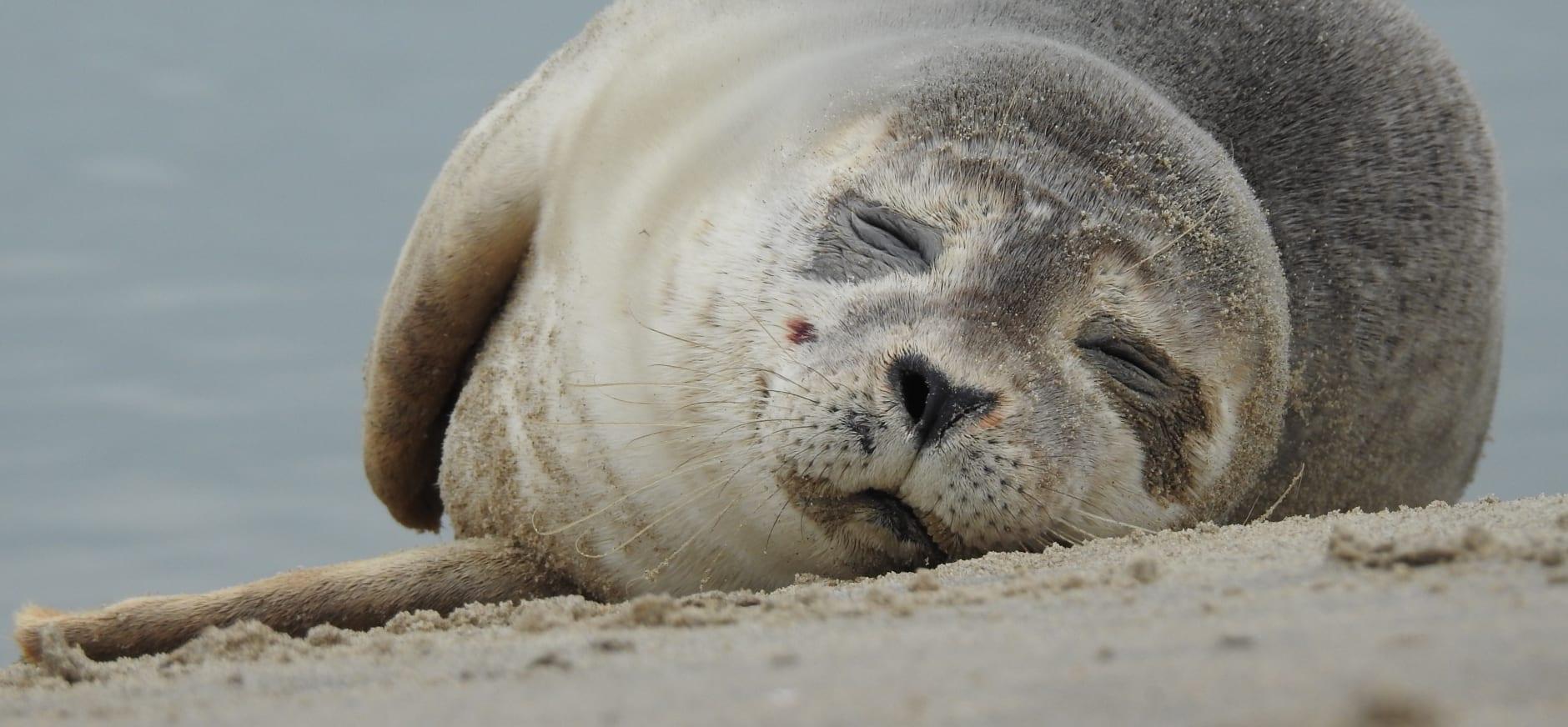 Slapende zeehond (Katwijk aan Zee)