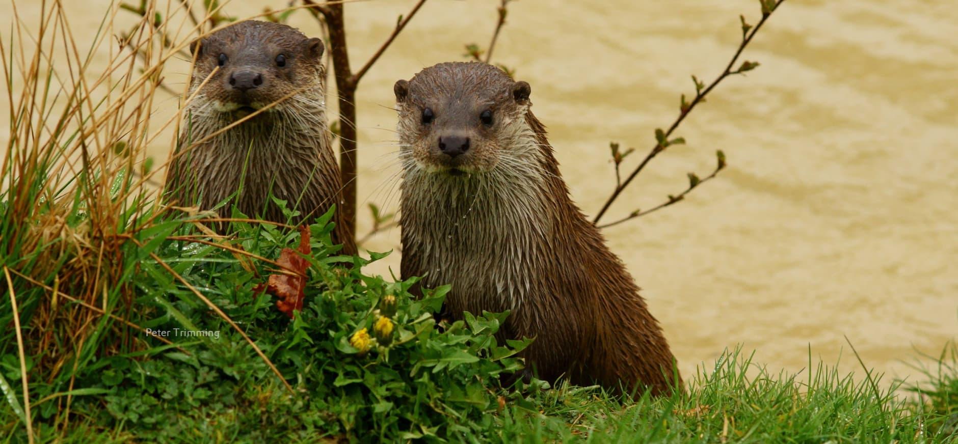 Otterraster aan de Uitweg bij de Nieuwkoopse Plassen geplaatst