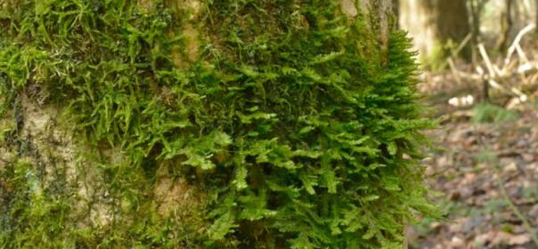 Egheria, perfecte plek voor zeldzame mossen