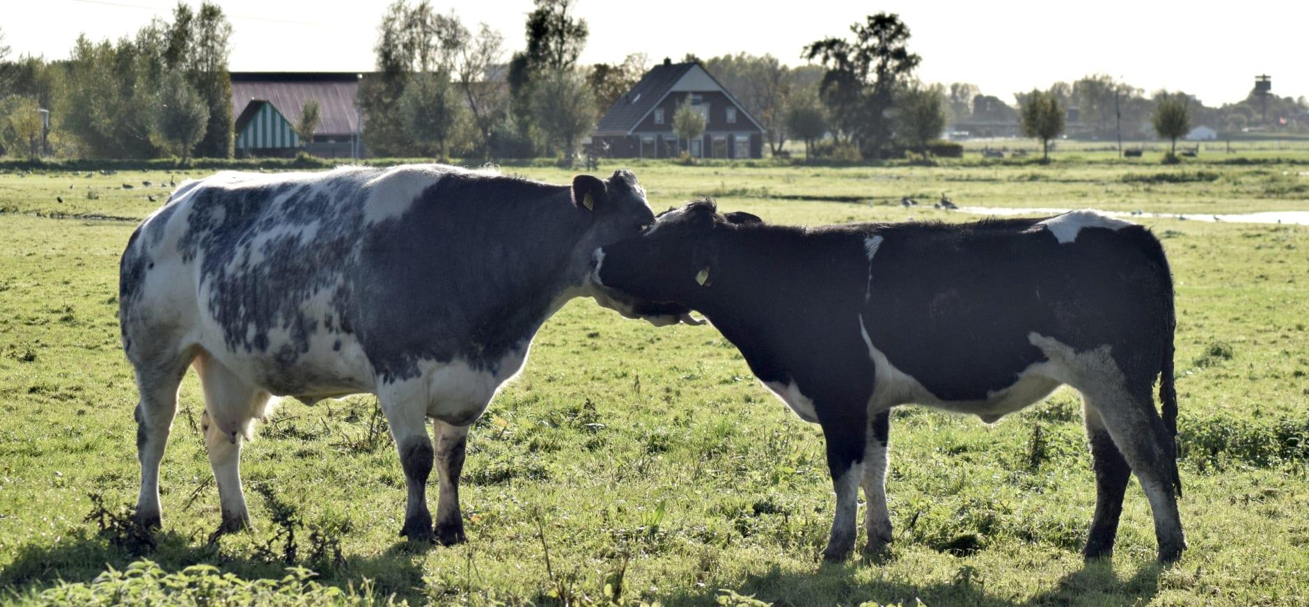 Hollandse koeien liefde