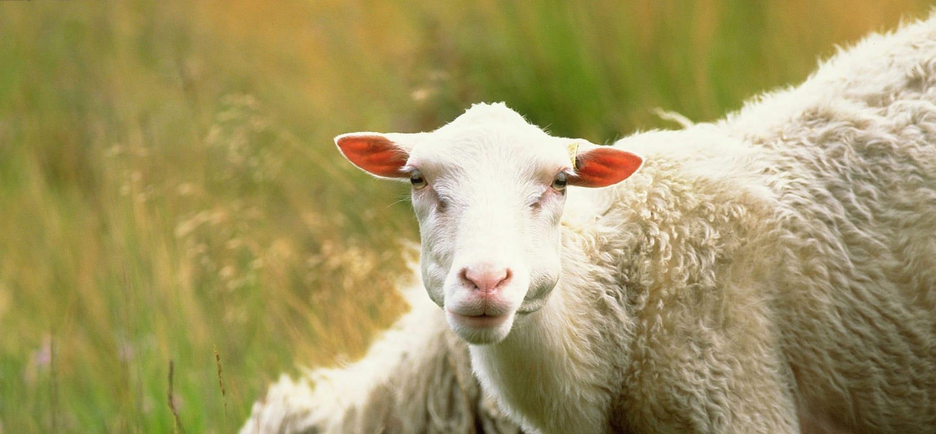 Schapen en herder aan het werk op de Sallandse Heuvelrug