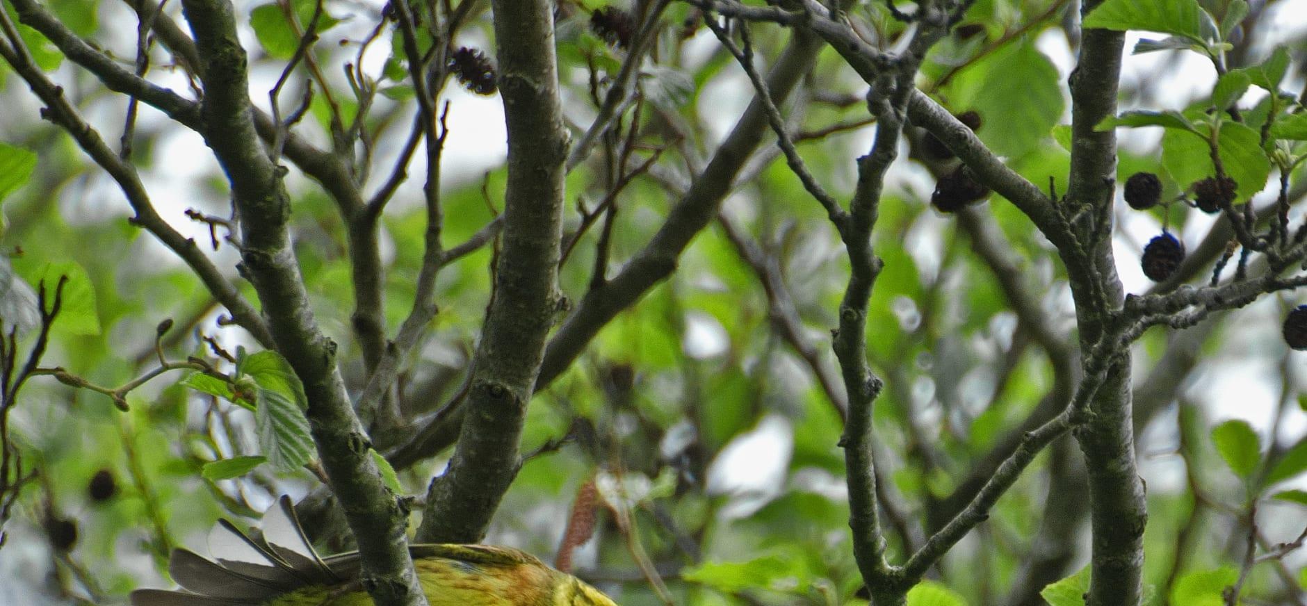 Geelgors in het Strijthagerbeekdal