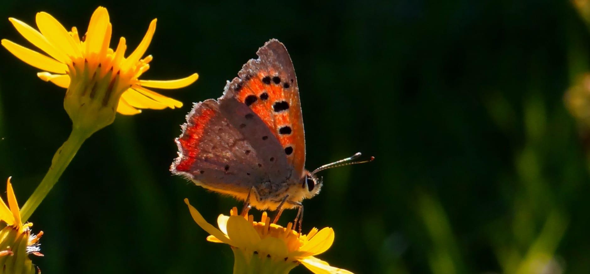 Volop vlinders in De Wieden