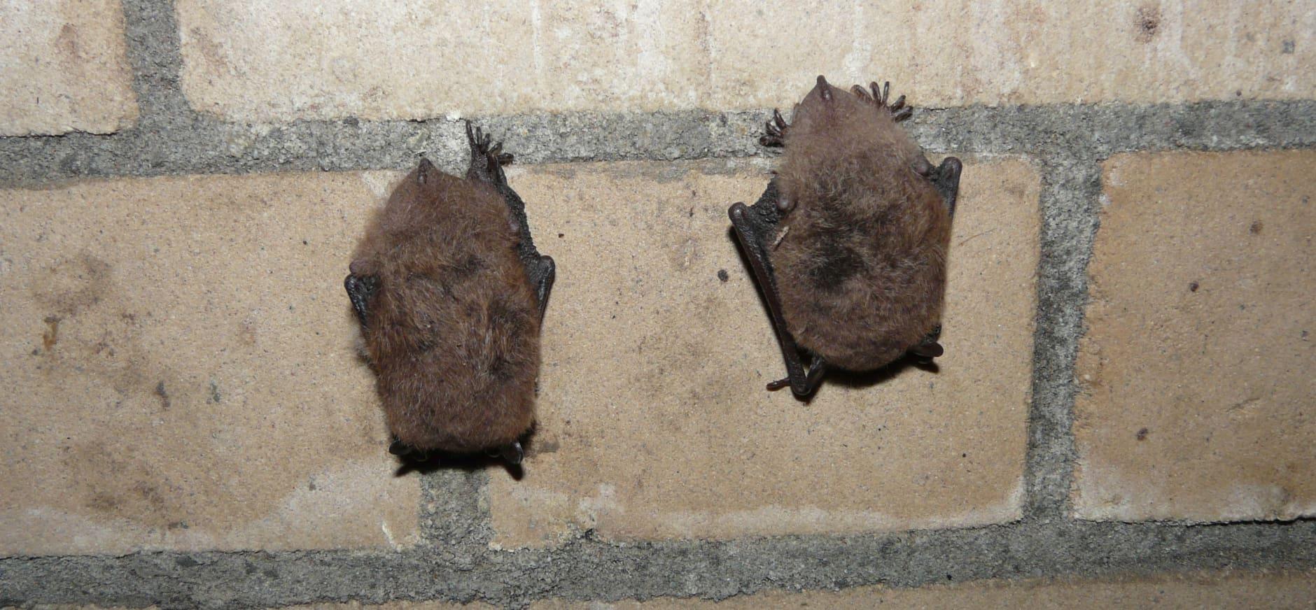 Vleermuizen overwinteren in ijskelder