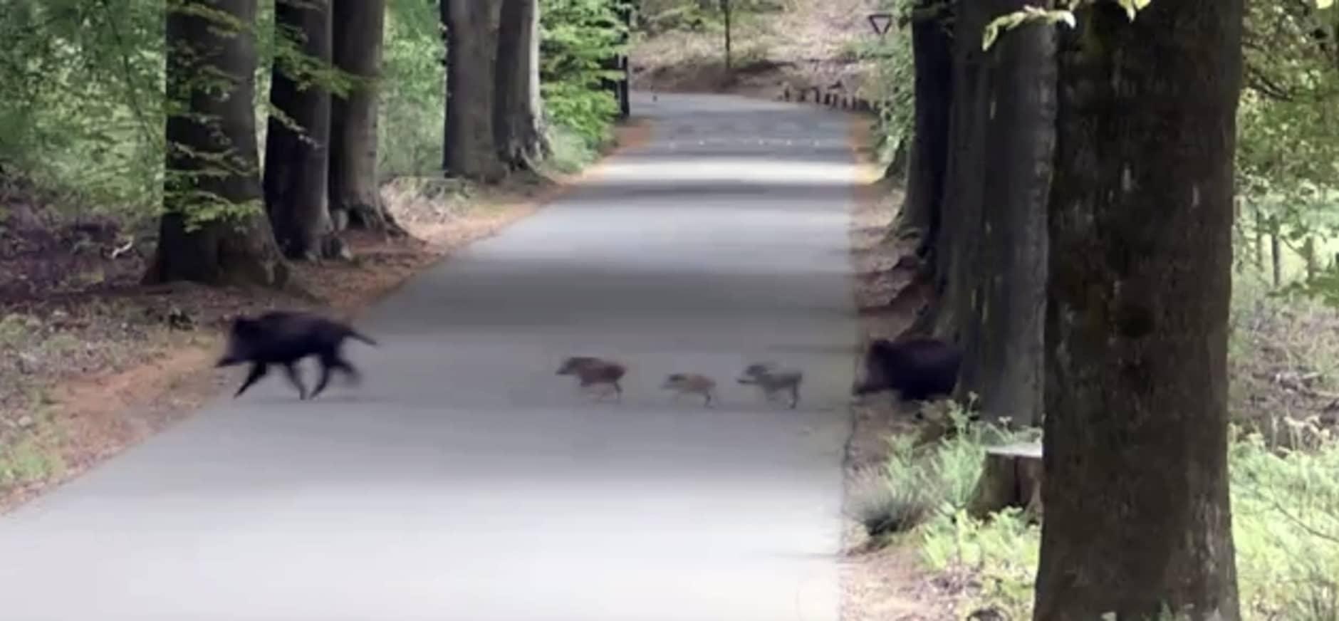 Wilde zwijnen steken over – bekijk het filmpje