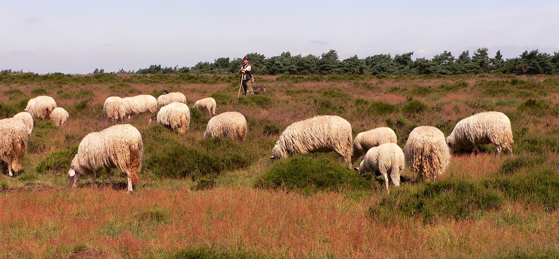 Kudde Veluwse heidschapen met herder