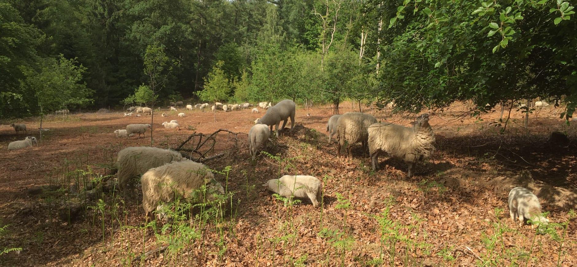 schapen Bergherbos