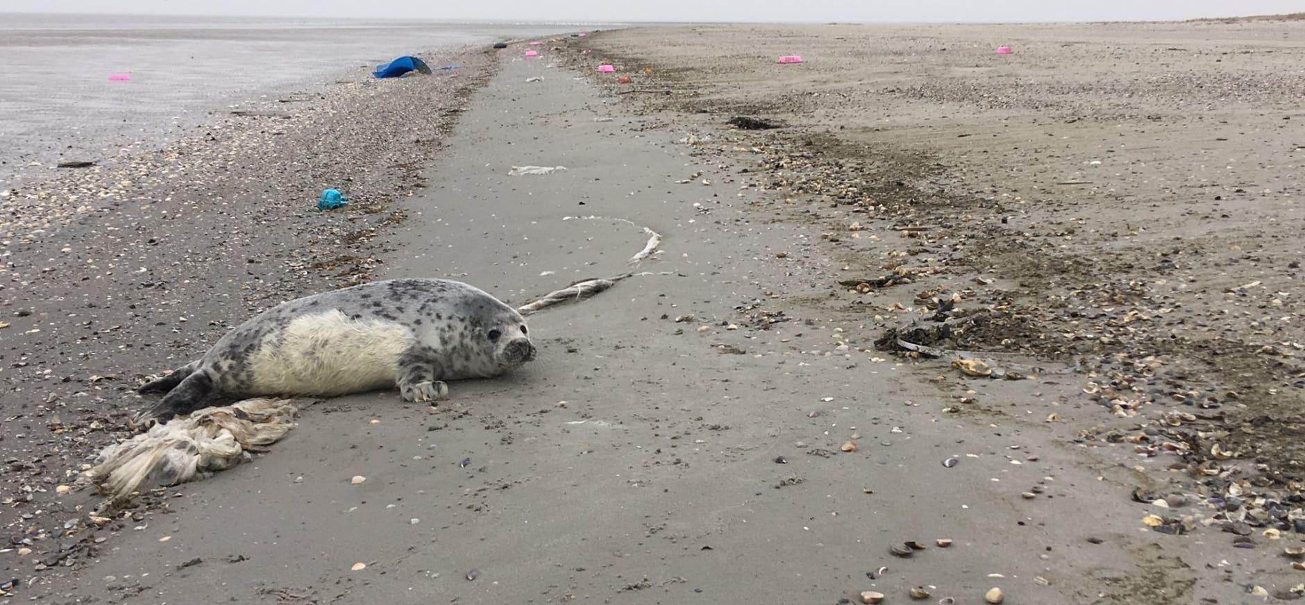 pup van grijze zeehond op Griend