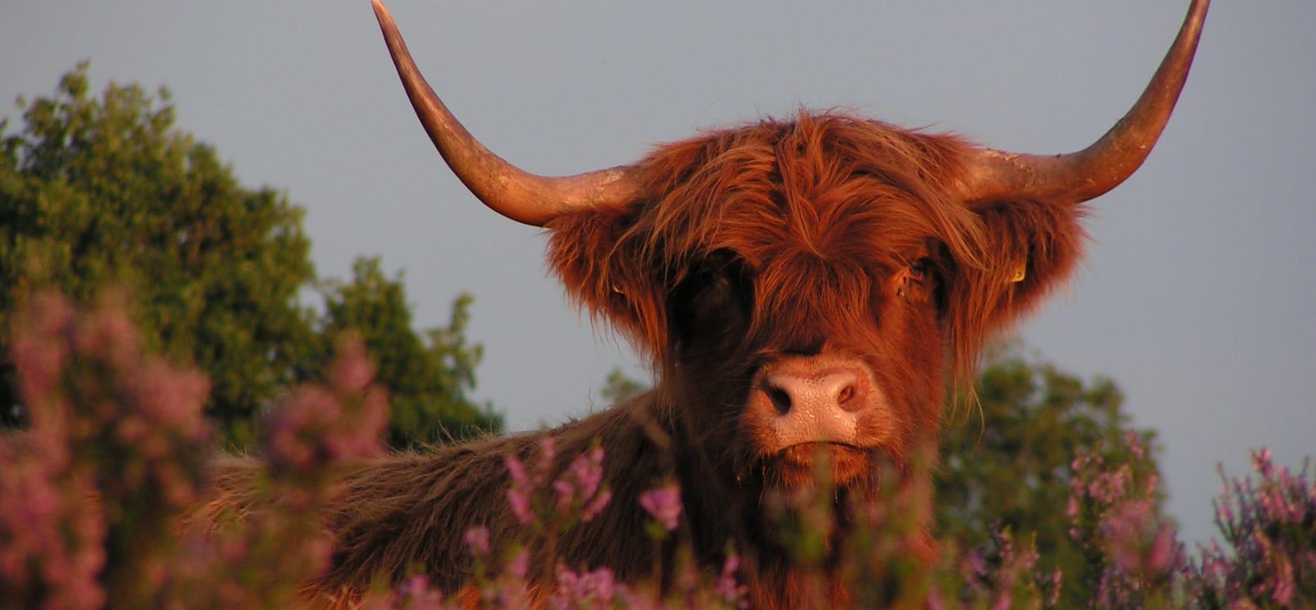 Schotse hooglander tussen heide op Mantingerveld