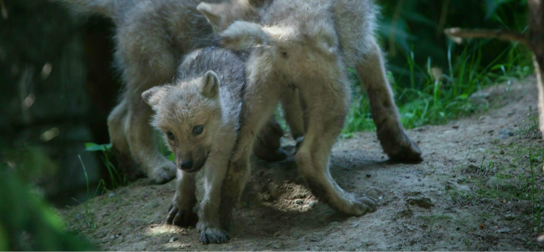 wolvenwelpen