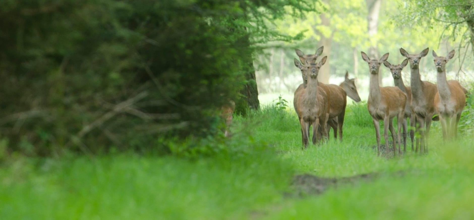 Video wildcam edelherten en hun natuurlijke gedrag op de Veluwe