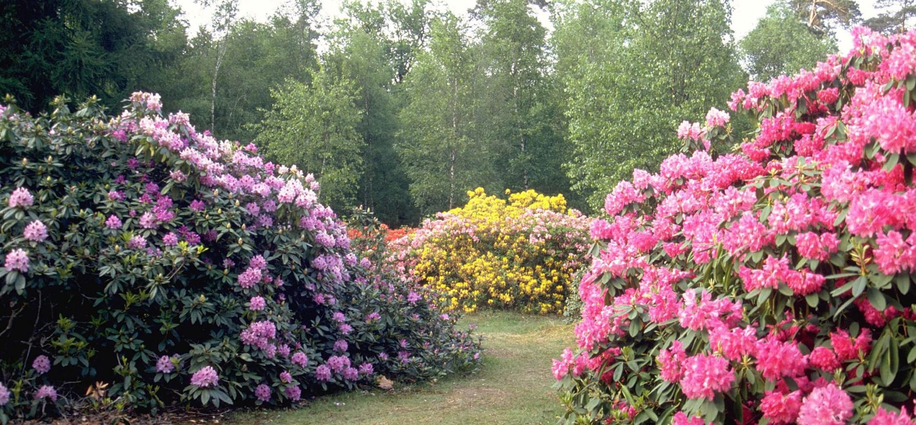 rododendrons in bloei