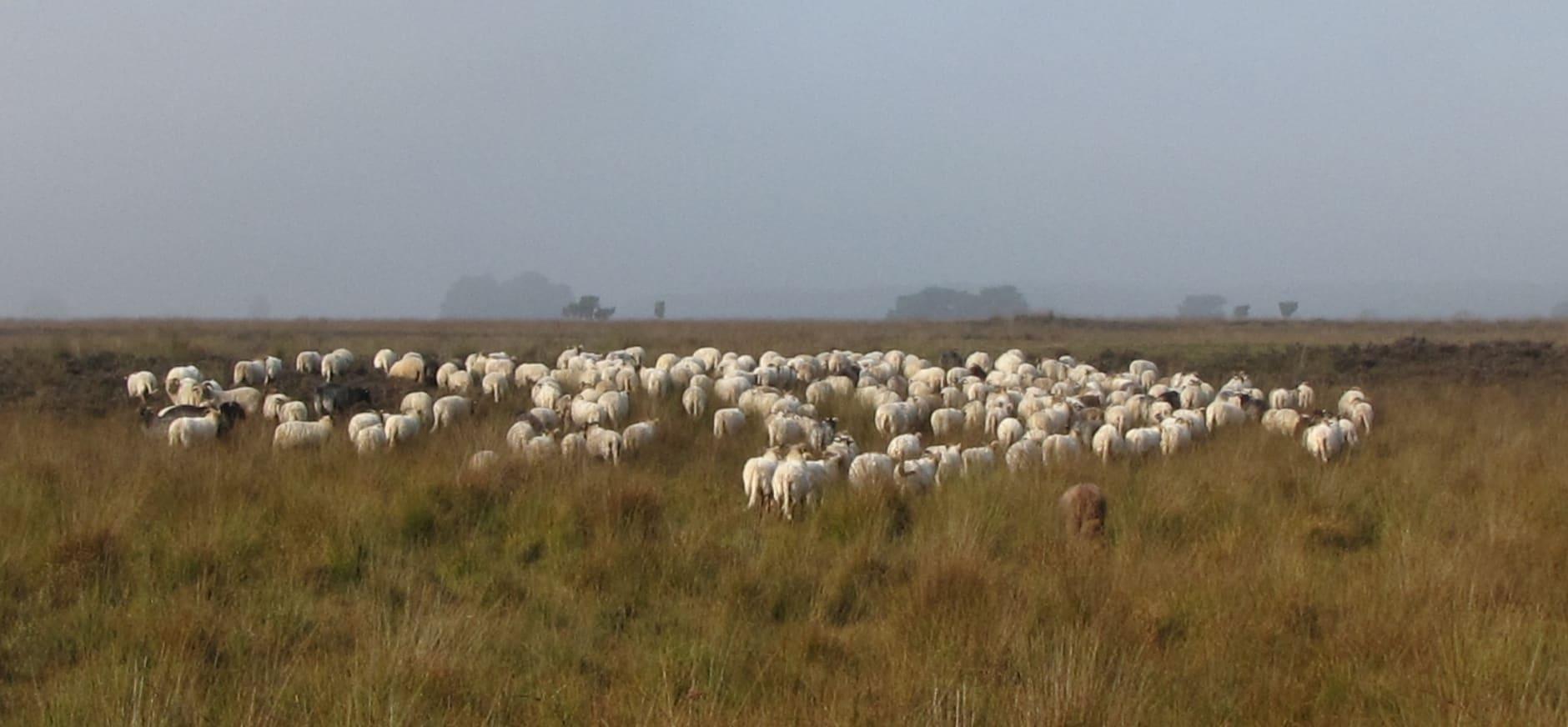 schaapherder met schapen op Dwingelderveld