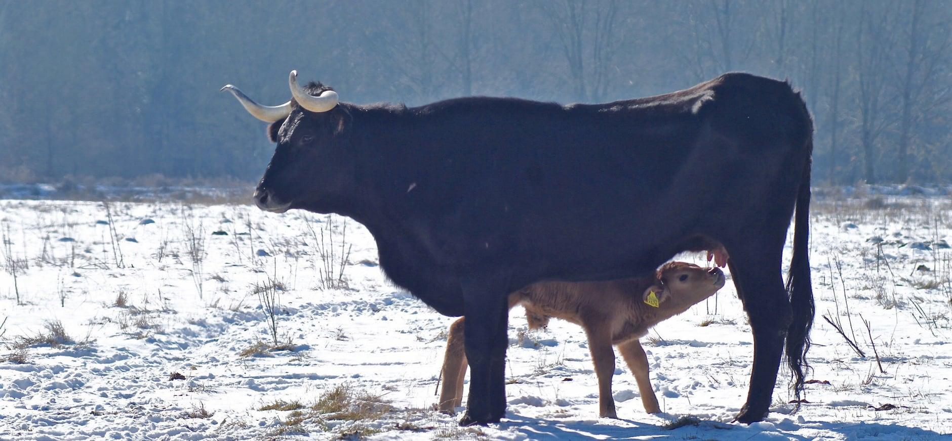 Kalfje in de sneeuw
