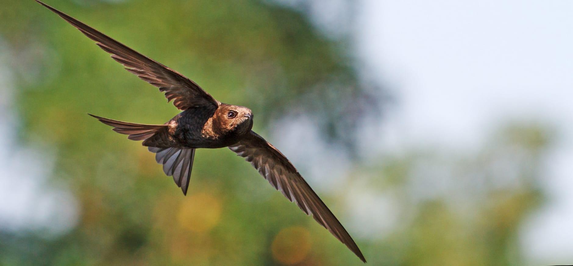 Gierzwaluw van dichtbij