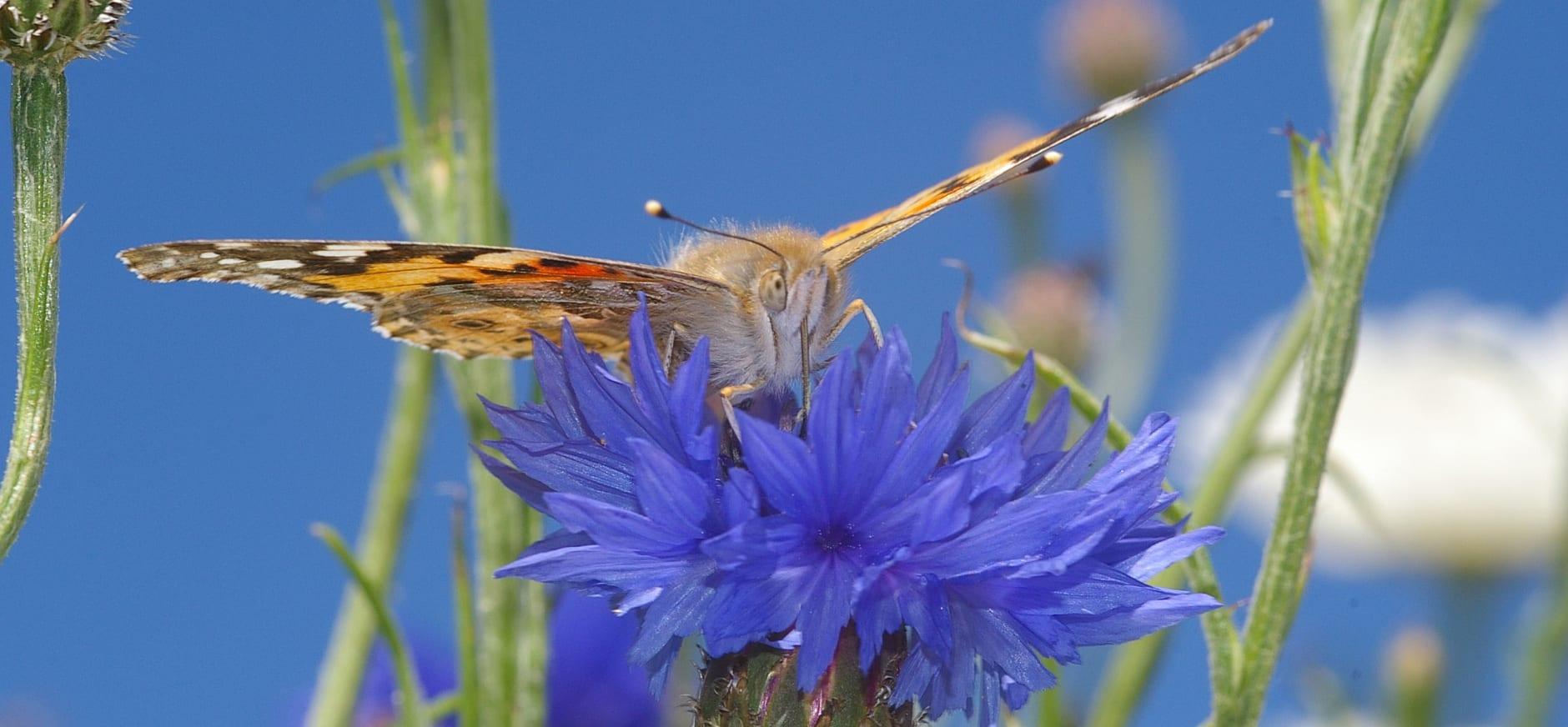 Distelvlinder op korenbloem