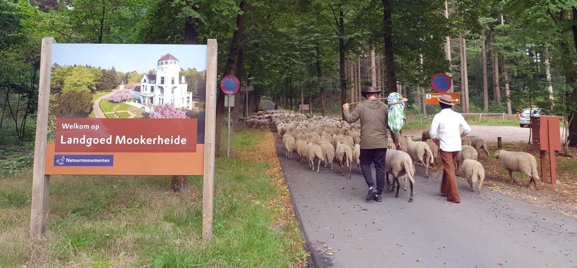 schapen op het landgoed