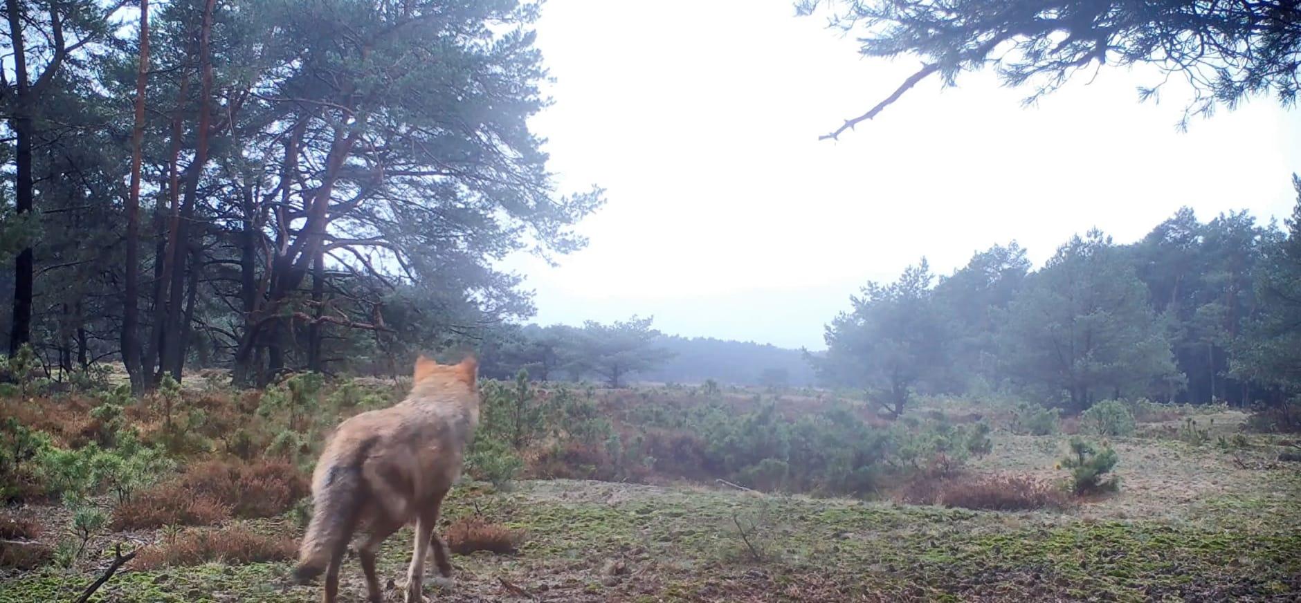 Wolfblog 4 de winter van de wolf op de zuid-veluwe