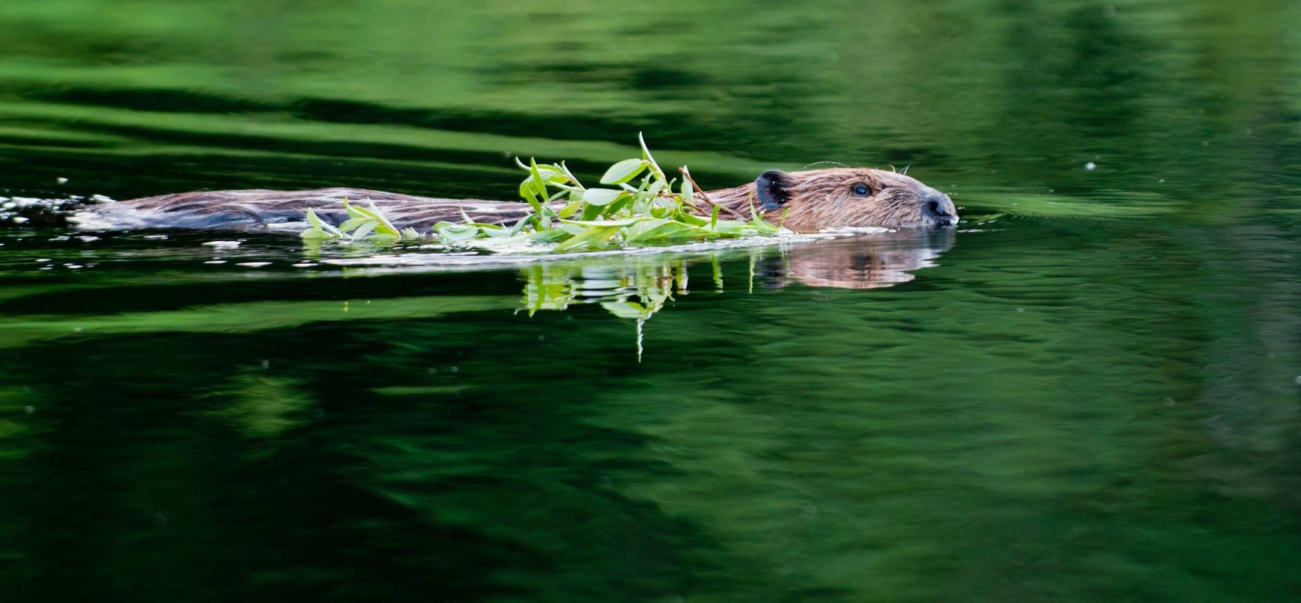 bever zwemt