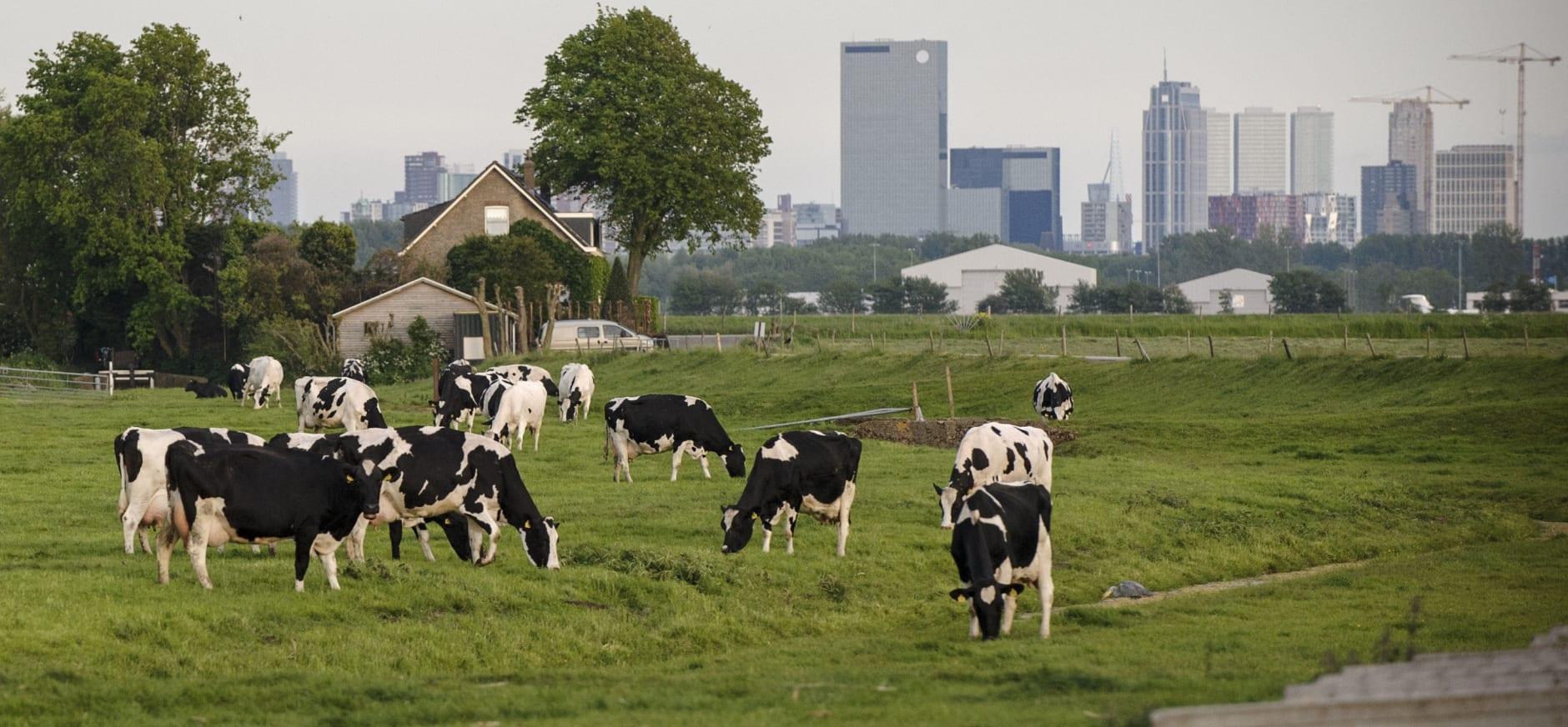 Koeien bij Rotterdam