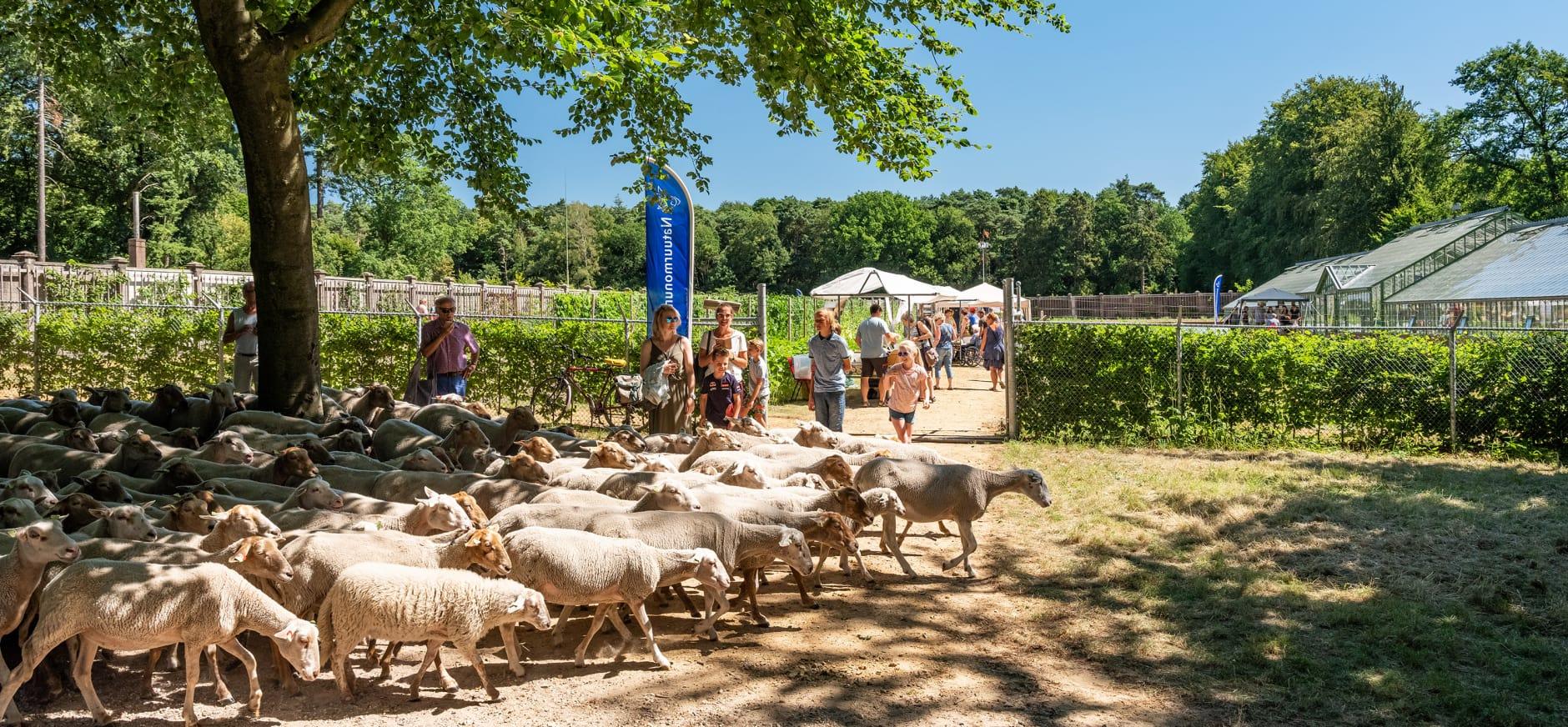 schapen bij de natuurmarkt