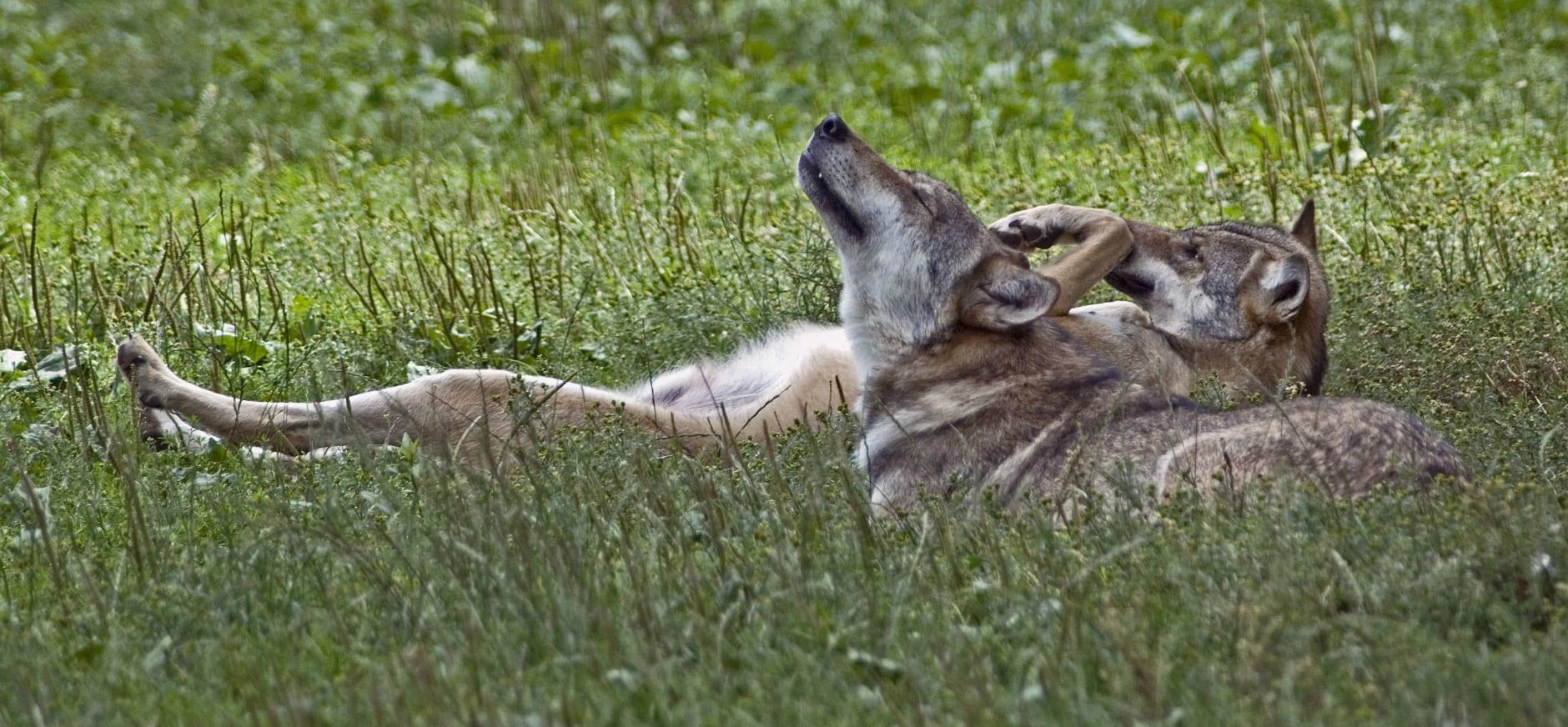 wolvenpaar