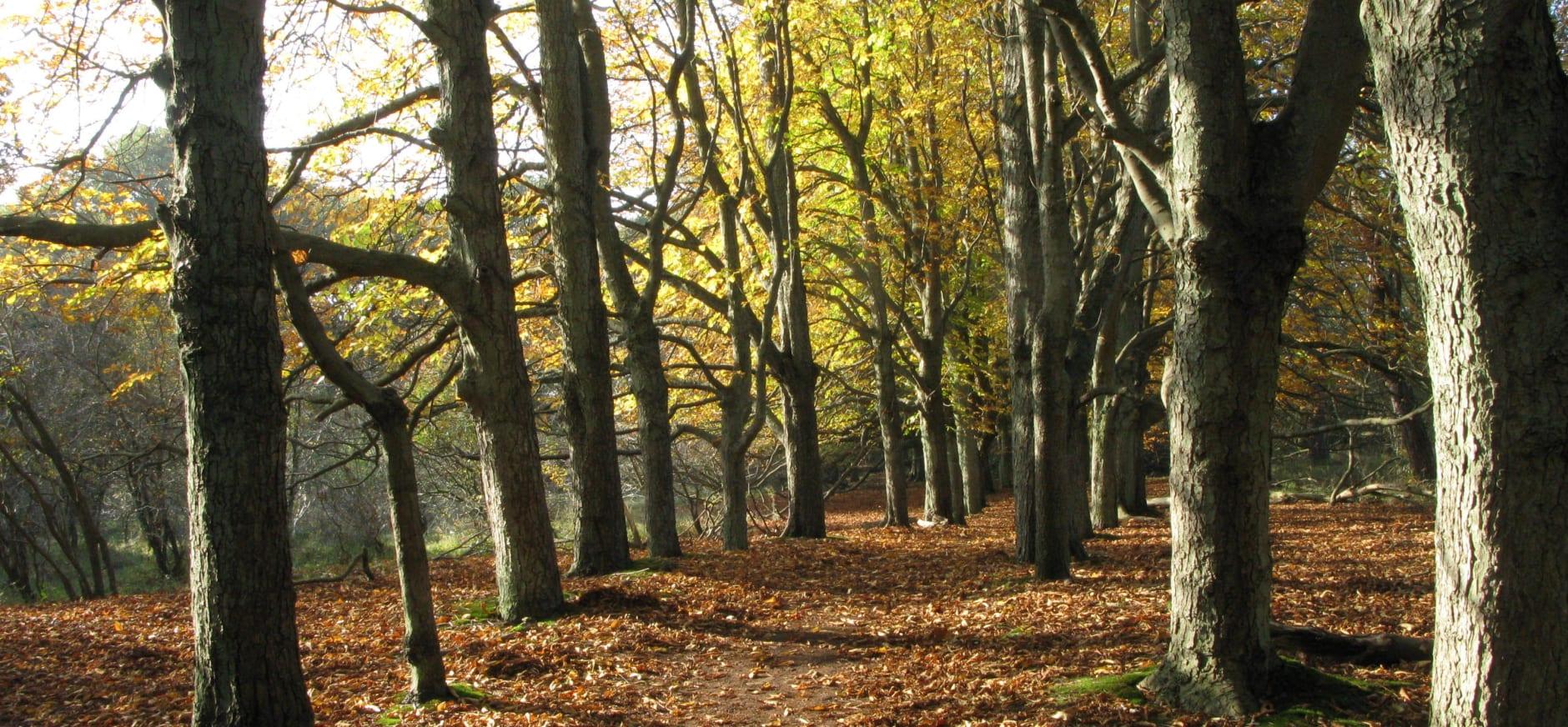 Kastanjelaantje in de herfst op landgoed Duin en Kruidberg