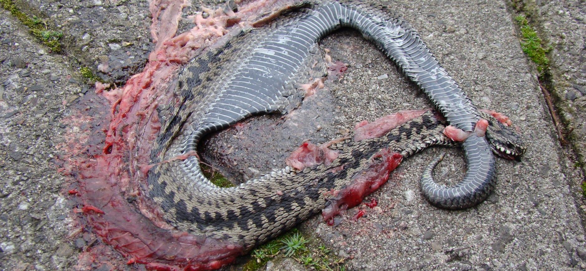 Slangen dood Fochteloerveenweg