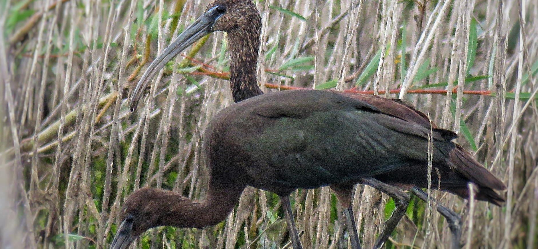 zwarte ibissen