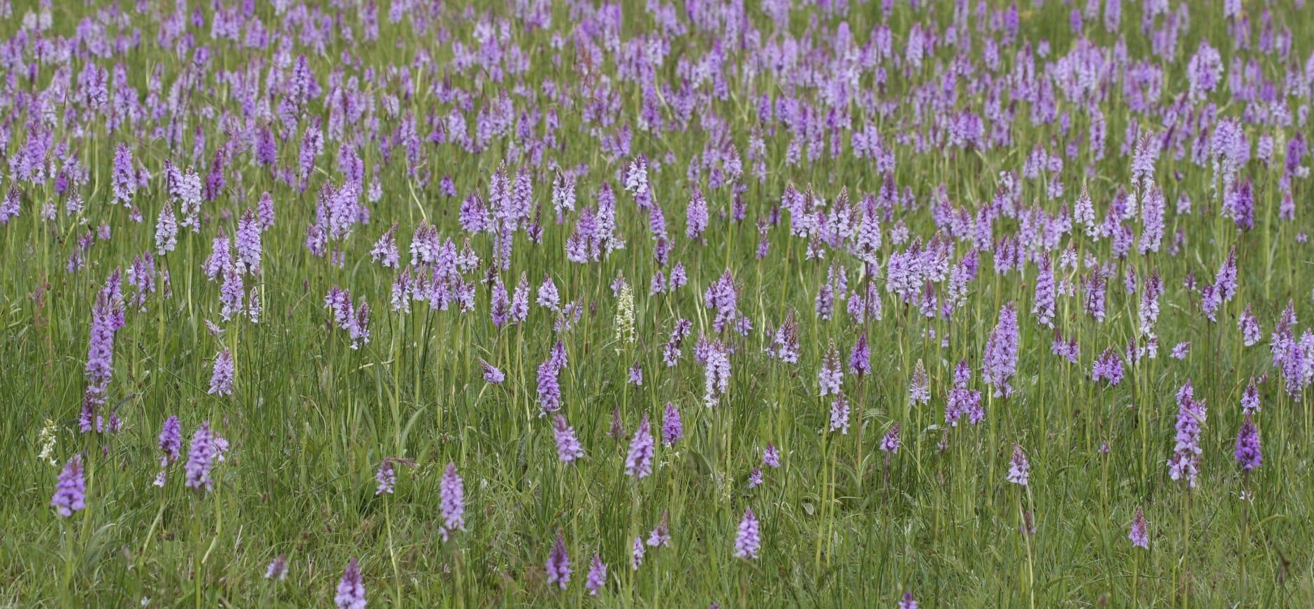 orchideeënrijk blauwgrasland