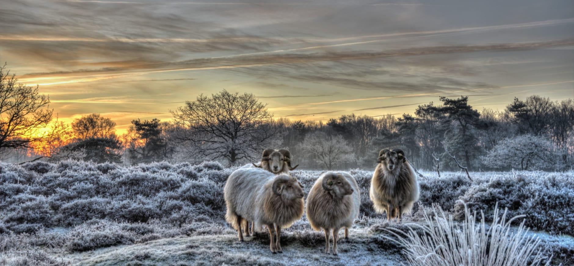 schapen in de winter