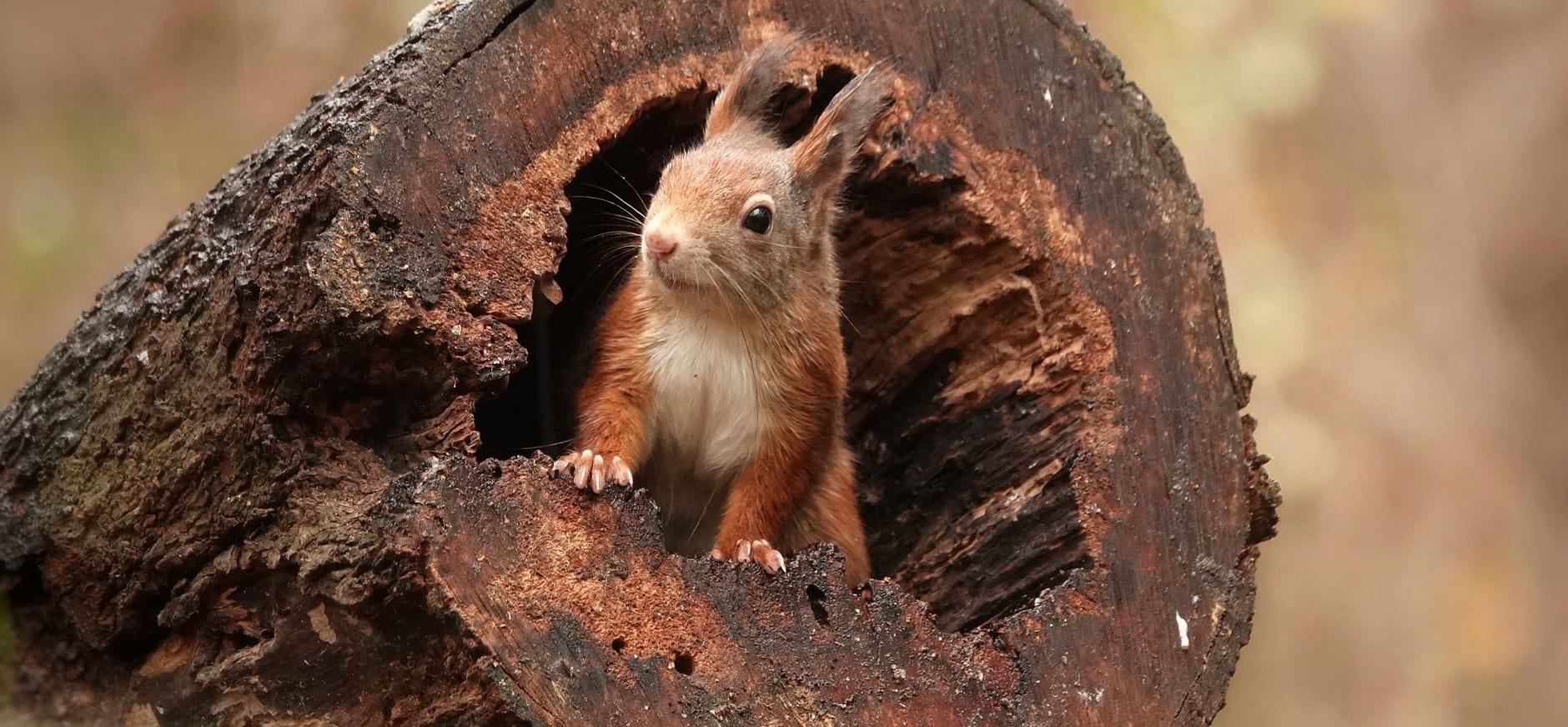 eekhoorn - marleen van eijk