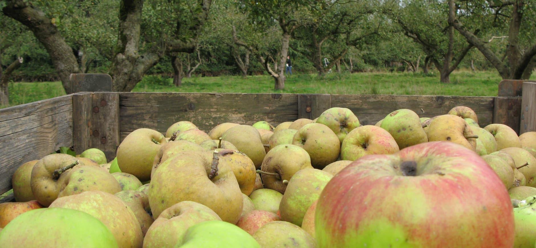 Coelhorster appels